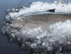 Wholefish Trout