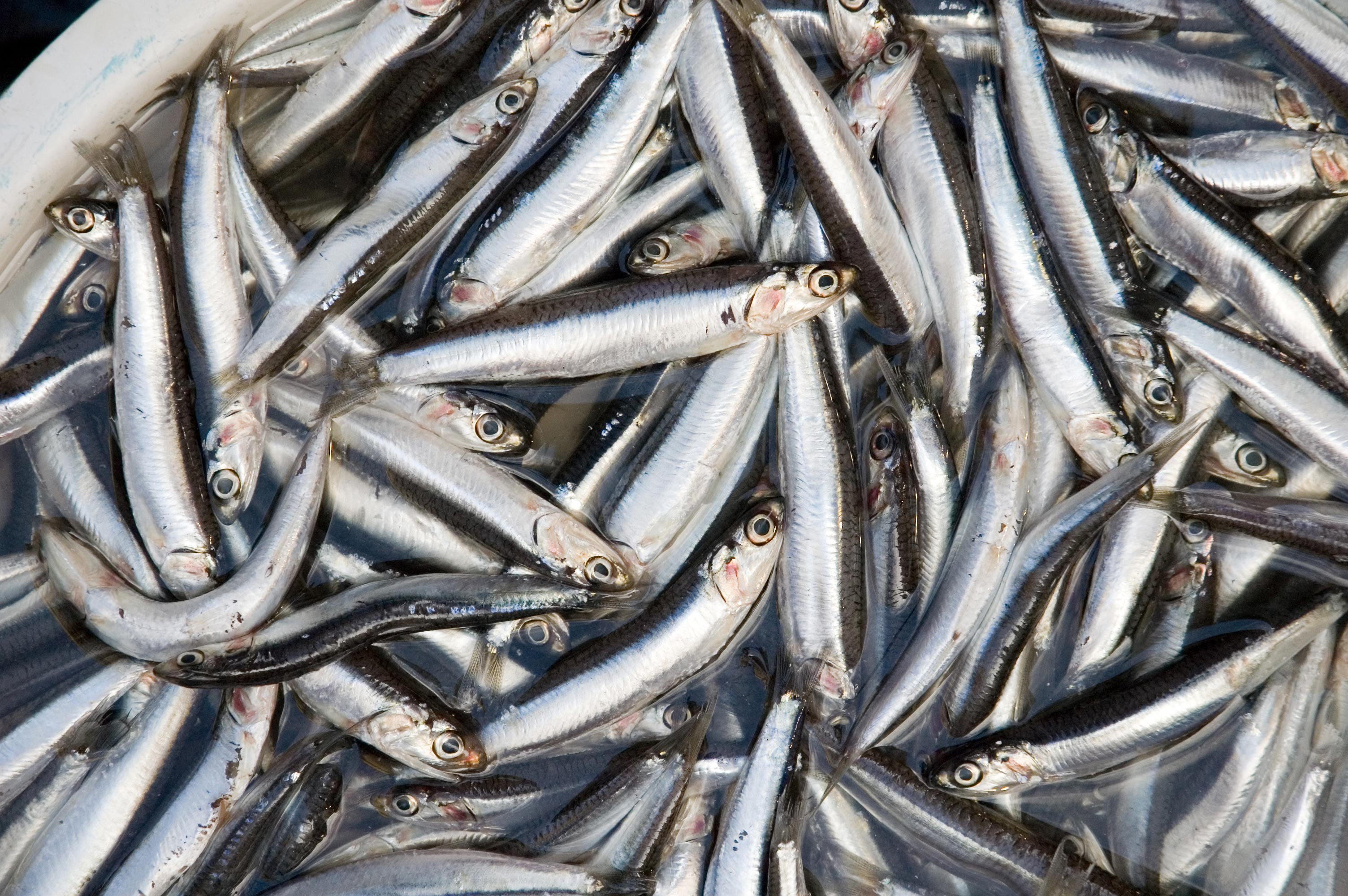 Dockside Anchovies