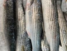 Fresh Wholefish Grey Mullet