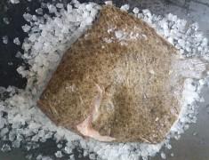 Fresh Wholefish Turbot